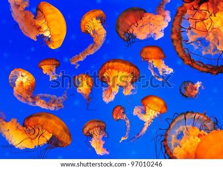 Pacific Sea Nettle Jellyfishes (Chrysaora quinquecirrha) - stock photo