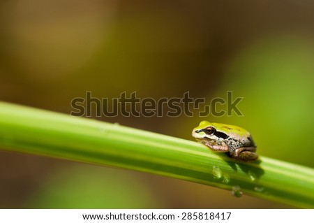 Pacific tree frog on blade of grass - stock photo