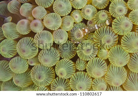 Pacifier anemones and shrimp - stock photo