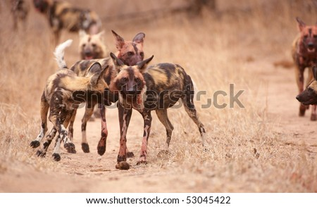 Pack of African Wild Dog (Lycaon pictus), highly endangered species of Africa - stock photo