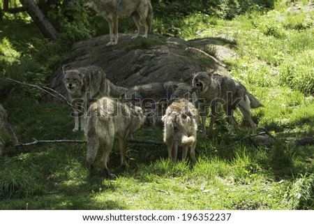 Pack of coyotes asserting their dominance - stock photo