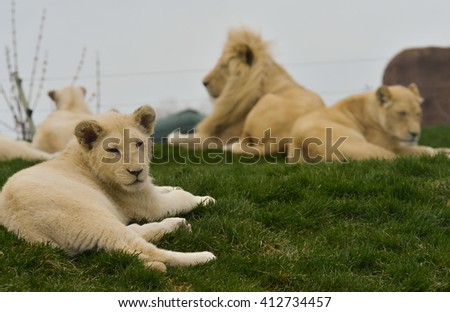 Pack of Lions Resting - stock photo