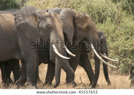 Pack of wild African elephants - stock photo