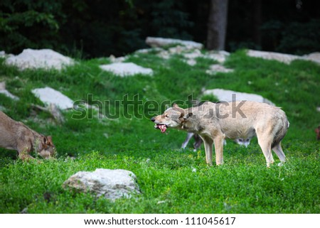Pack of wolves feeding on carcass in natural - stock photo