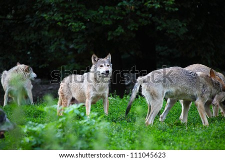 Pack of wolves in natural - stock photo
