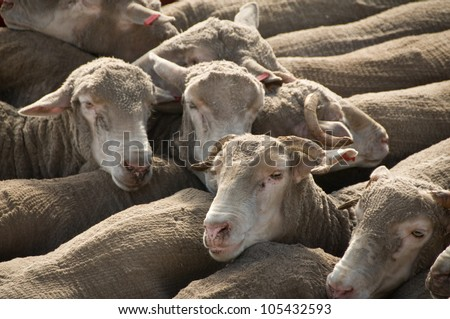 Packed in sheep ready for transport - stock photo