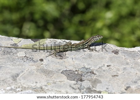 Padarcis tiliguerta, Tyrrhenian Wall Lizard (male)  on a wall in Corsica, France, Europe - stock photo