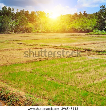 paddy field and sunrise - stock photo