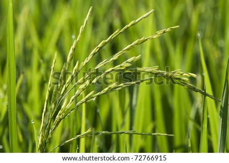 Paddy field close up in asia country. - stock photo