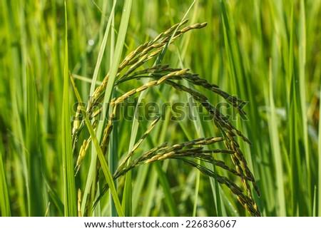 Paddy field of yellow rice harvest season in thailand - stock photo