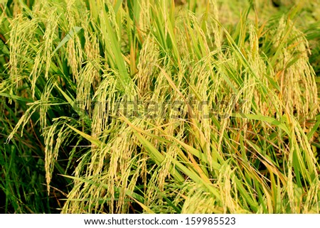 Paddy field or rice field in Ayudthaya, Thailand.  - stock photo