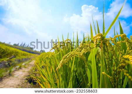 paddy field with blue sky - stock photo