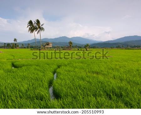 Paddy field with blue sky at Kota Marudu, Sabah, East Malaysia, Borneo - stock photo