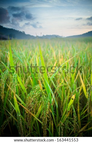Paddy field with sunrise background  - stock photo