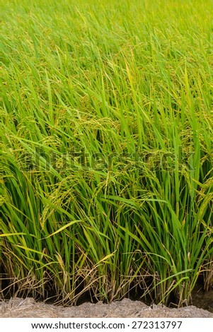 Paddy green Rice Fields in Thailand. - stock photo