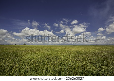 paddy rice field ready for harvest - stock photo