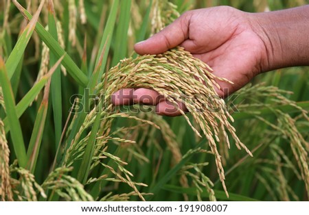 Paddy seeds holding by hand in field - stock photo