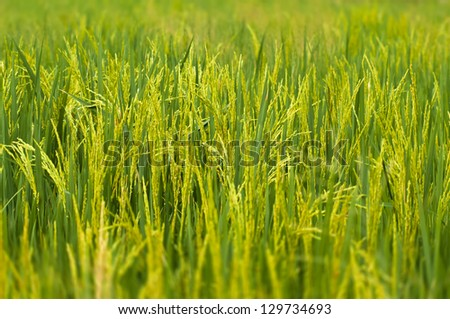 Paddy stalk in rice field with selective focusing blurred foreground and background - stock photo