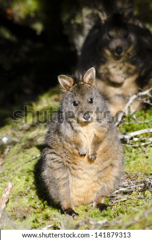 Pademelon at Cradle Mountain with sinister 'evil twin' lurking in the shadows. Pademelons are small marsupials of the genus Thylogale. They are usually found in forests. Tasmania, Australia - stock photo