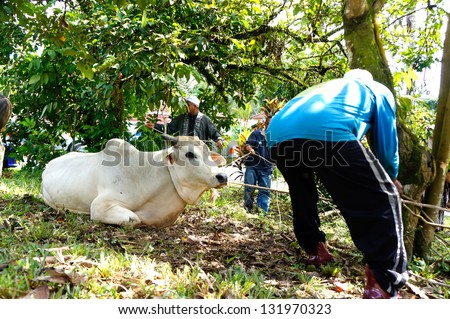 PAHANG, MALAYSIA - OKTOBER 26: Unidentified Malaysian Muslims mooring cow in slaughtering during Eid Al-Adha Al Mubarak, the Feast of Sacrifice on Oktober 26, 2012 in Pahang, Malaysia. - stock photo