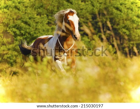 paint horse prancing running - stock photo