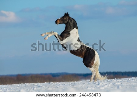 Paint horse stand up on winter background, Pinto horse. - stock photo