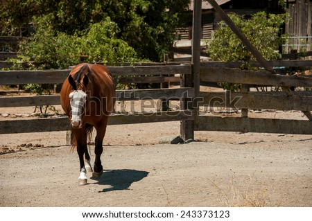 Paint Horse walking in Paddock - stock photo