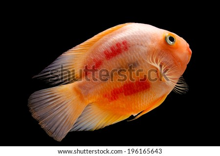 Painted blood parrot cichlids (Cichlasoma sp.) isolated on black background - stock photo