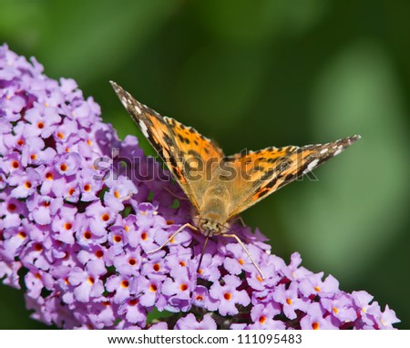 Painted Lady Butterfly collecting pollen from a wildflower. - stock photo