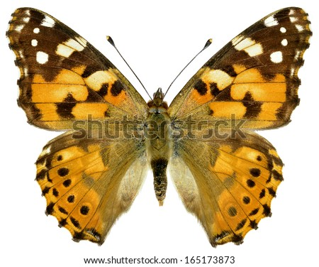 Painted lady butterfly (Cynthia cardui ou Vanessa cardui) isolated on white background - stock photo