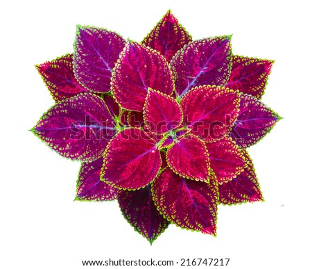 Painted nettle Flower, Coleus plants with colorful leaves, Coleus leaves Painted nettle, Flame nettle on White Background - stock photo