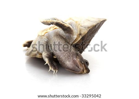 Painted river terrapin (Callagur borneoensis) isolated on white background. - stock photo
