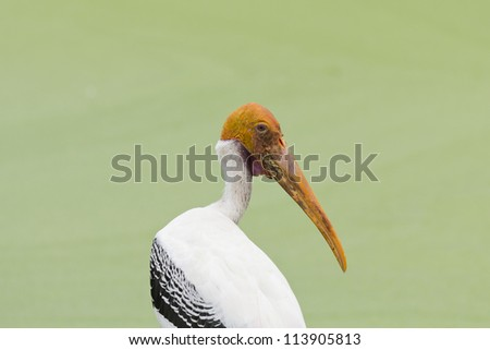 painted stork bird - stock photo