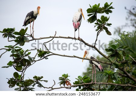 Painted storks perched on tree top - stock photo