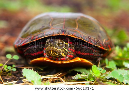 Painted Turtle Hiding In Shell Becomes Curious And Peeks Head Out. - stock photo