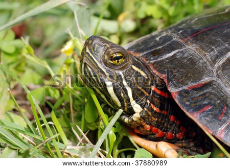 Painted turtle in the grass - stock photo