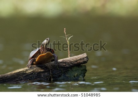 Painted turtle on log - stock photo