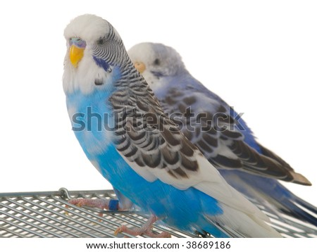 pair budgerigar on cage - stock photo