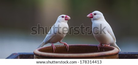 Pair lovebirds  - stock photo