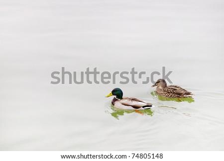 Pair mallard duck on lake - stock photo