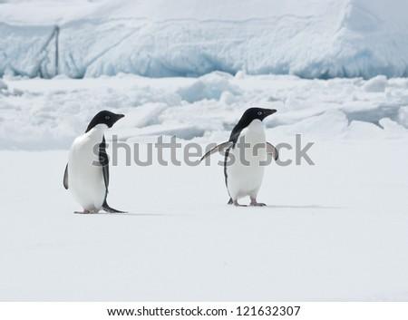 Pair of Adelie penguins (Pygoscelis adeliae) on an ice floe. - stock photo