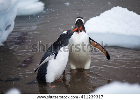 Pair of adult lovely Gentoo Penguin in the water, Antarctica - stock photo