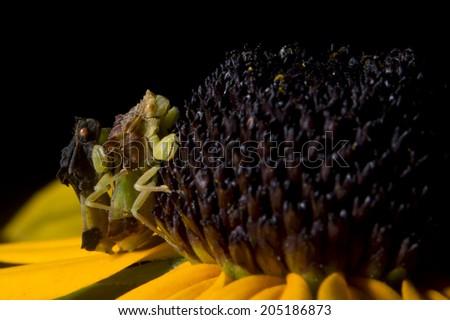 Pair of ambush bugs on a black-eyed susan flower - stock photo