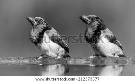 Pair of barbet birds sitting at edge of water looking in same direction, black and white - stock photo