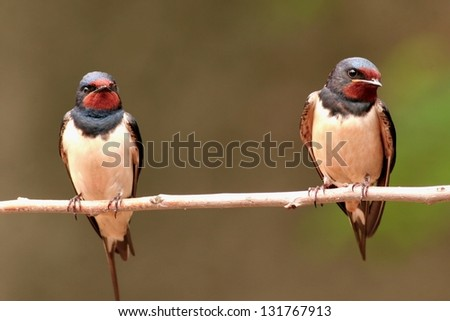 Pair of barn swallows, perched on a twig - stock photo