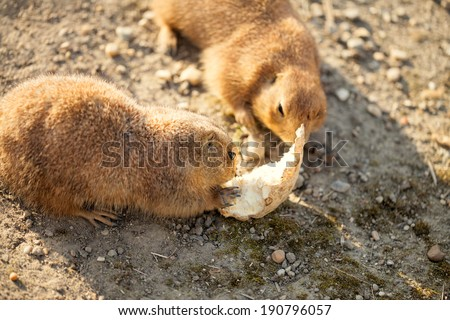 Pair of black-tailed dog eat - stock photo