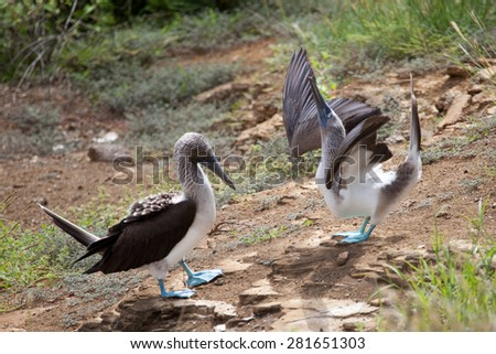 Pair of blue footed boobies performing mating dance, Galapagos Islands, Ecuador, Pacific, South America - stock photo