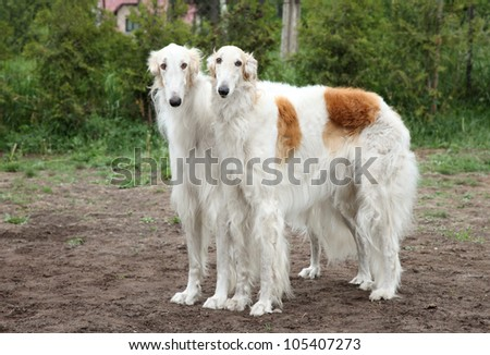 Pair of borzoi hounds posing on the background of nature - stock photo