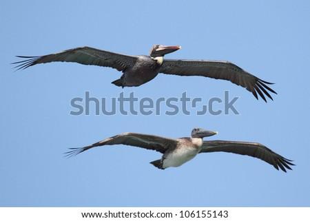 Pair of Brown Pelicans (Pelecanus occidentalis) in flight over the Florida Everglades - stock photo