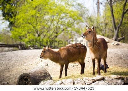 Pair of brown waterbucks in nature  - stock photo